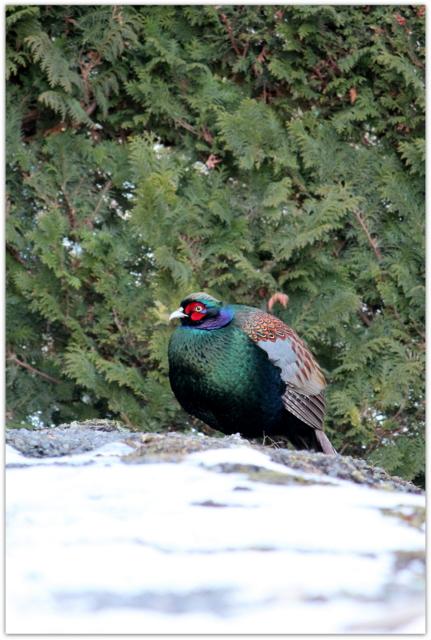 青森県 弘前市 野鳥 鳥の写真 キジ きじ 雉