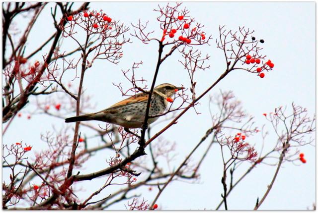 青森県 平川市 野鳥 鳥 渡り鳥 ツグミ 写真