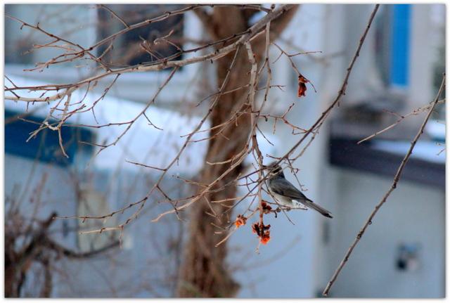 青森県 弘前市 野鳥 鳥の写真 ヒヨドリ