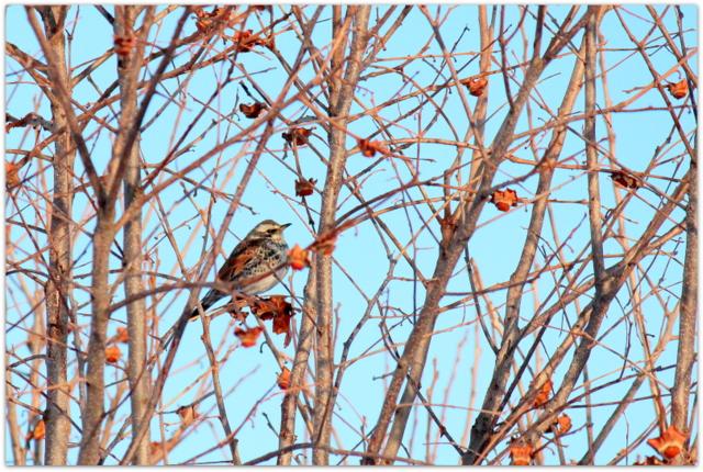 青森県 弘前市 野鳥 鳥の写真 ツグミ つぐみ