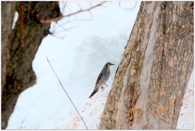 青森県 弘前市 野鳥 鳥の写真 ひよどり ヒヨドリ