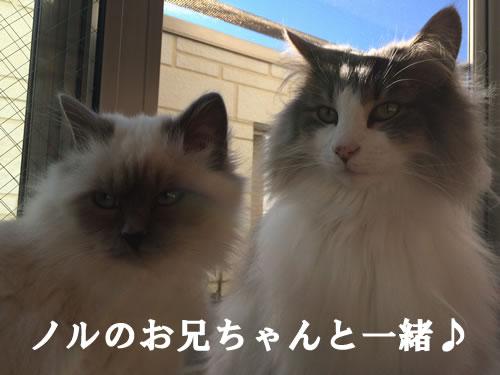 幸運を運ぶバーマン子猫M☆彡マーニ