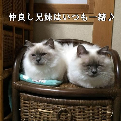 幸運を運ぶバーマン子猫M☆彡ミカン&マシュー