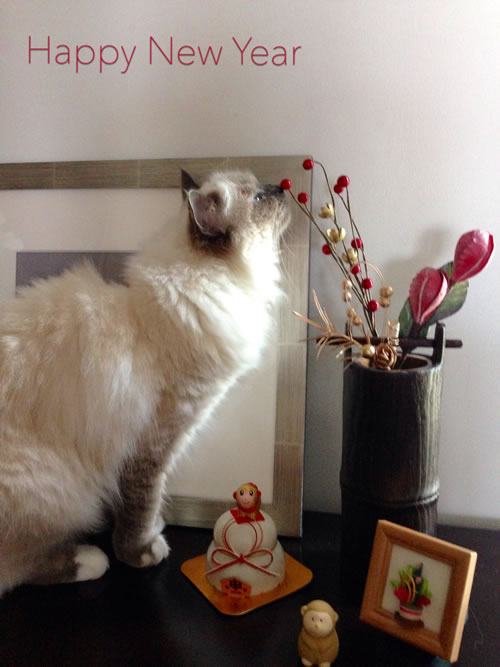 幸運を運ぶバーマン 子猫 かわいいサクラ K