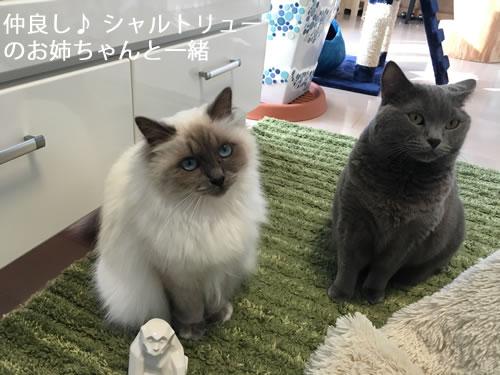 幸運を運ぶバーマン子猫K☆彡メロウ