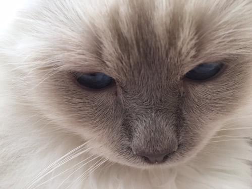 幸運を運ぶバーマン☆彡子猫 ミカエル