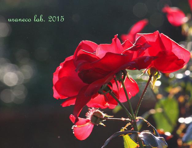 12月25日冬薔薇