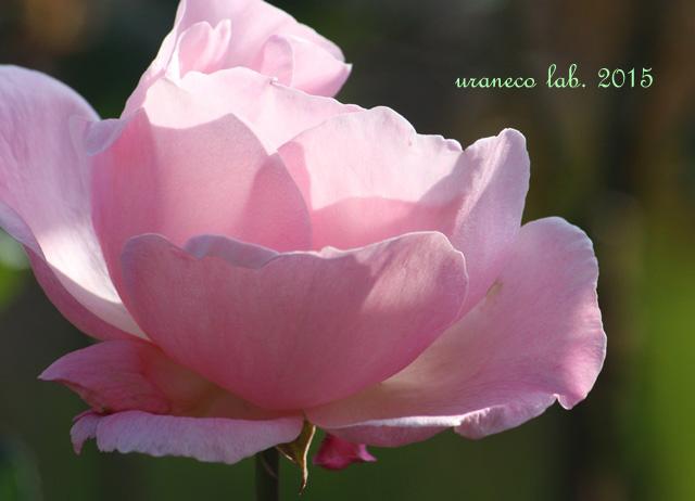 12月25日冬薔薇2