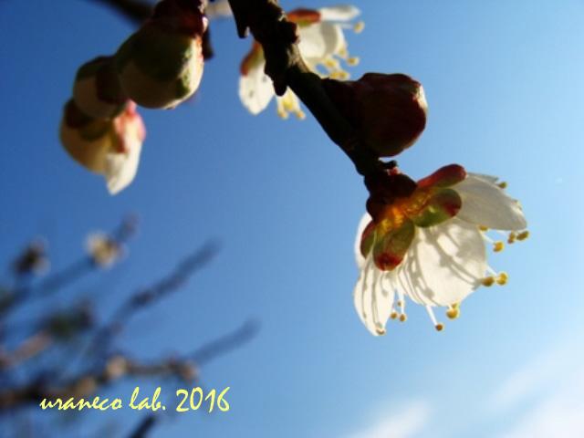 1月28日青空と梅の木