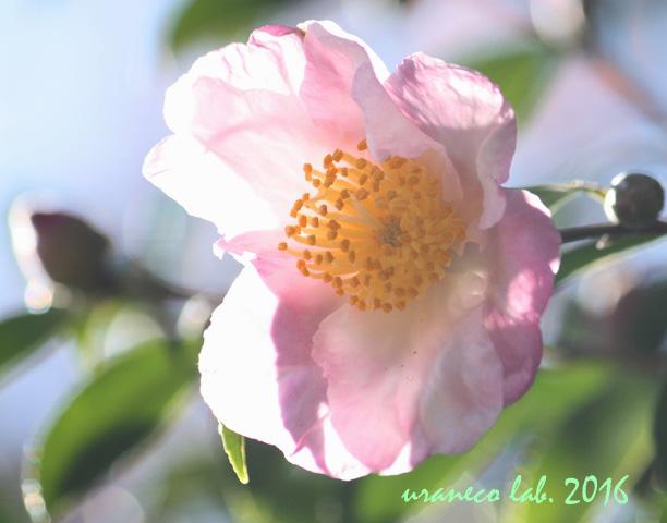 2月2日山茶花