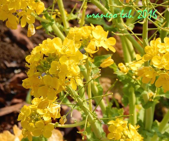 2月28日菜の花