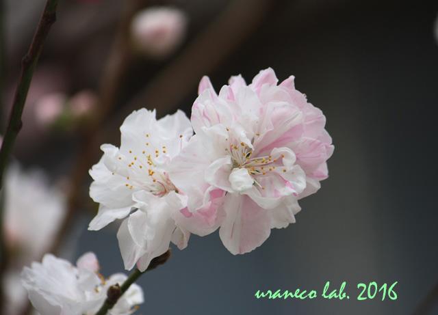 3月3日花桃3