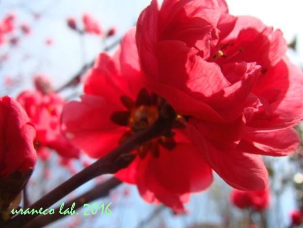 3月3日花桃