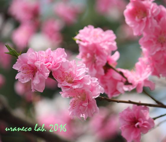 3月3日花桃2