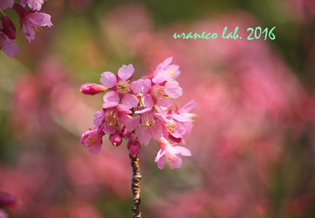 3月4日河津桜