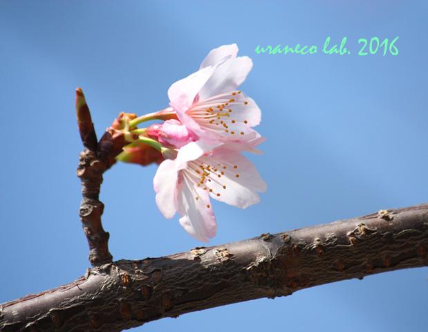 3月4日大寒桜3