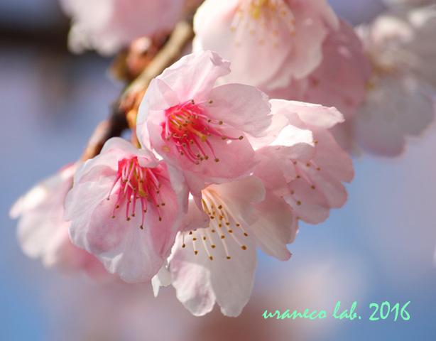3月4日大寒桜2