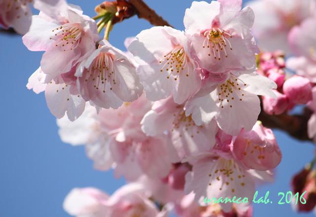 3月4日大寒桜