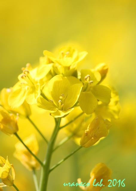 3月4日菜の花