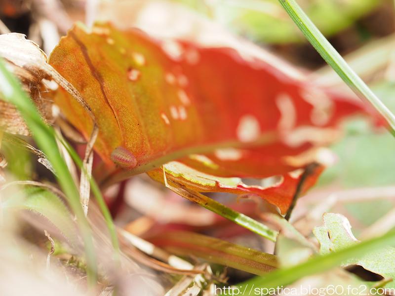 ベニシジミ幼虫