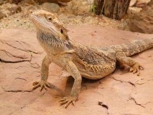 bearded-dragon-77078_1280-e1427820140843.jpg