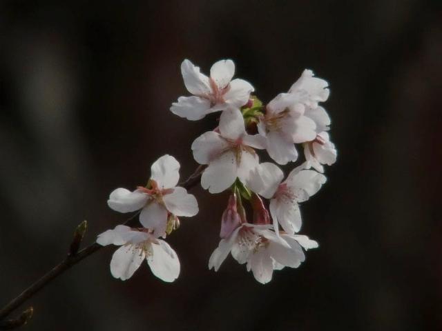 玉縄桜:クリックして大きな画像でご覧ください