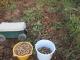 2種類の落花生を収穫