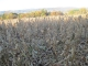 霜が降りた大豆畑