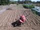 タマネギを植えるため畑を耕した