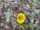 開花した福寿草