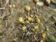 ほころび始めたサンシュユの花芽