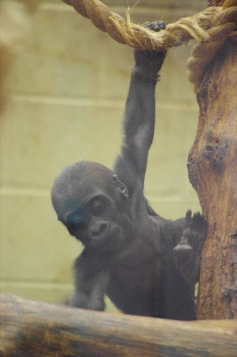 ロンドン動物園ゴリラ (1)