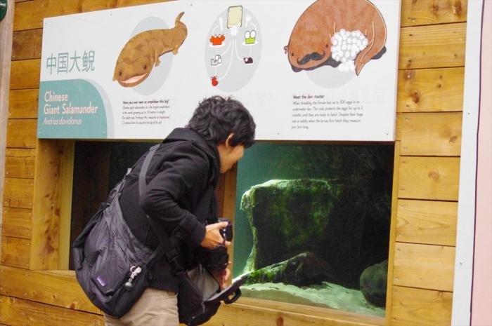 ロンドン動物園サンショウウオ (3)