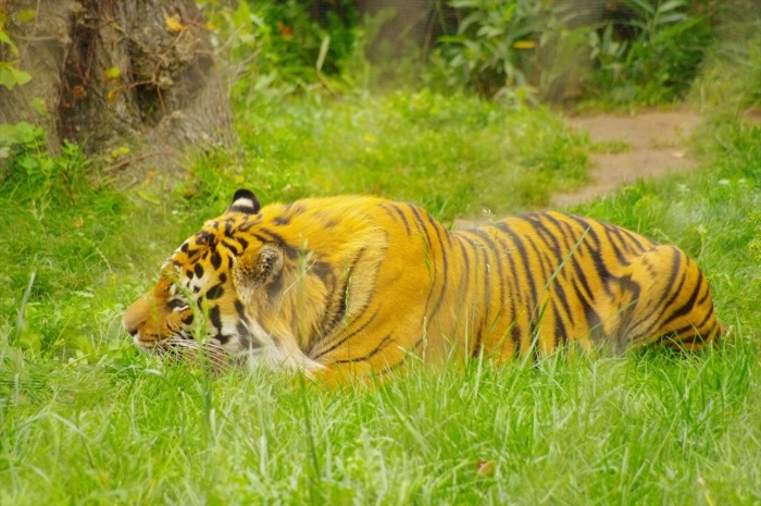 ロンドン動物園タイガー (1)