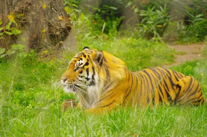 ロンドン動物園タイガー (8)