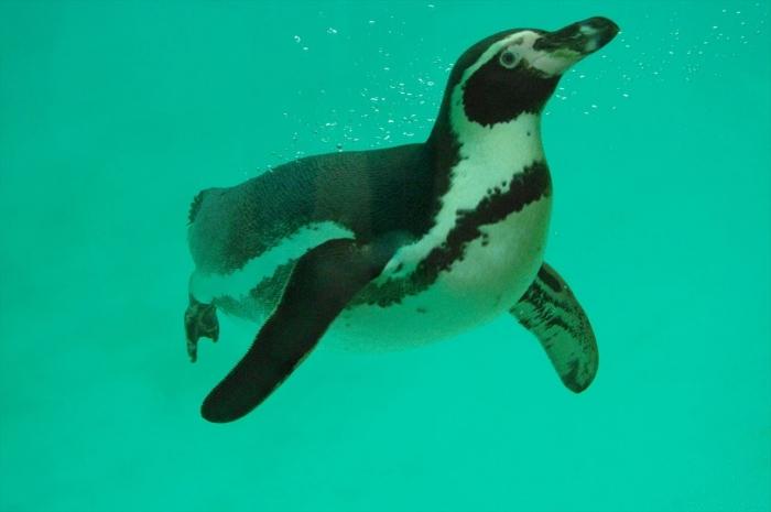 ロンドン動物園ペンギン (5)