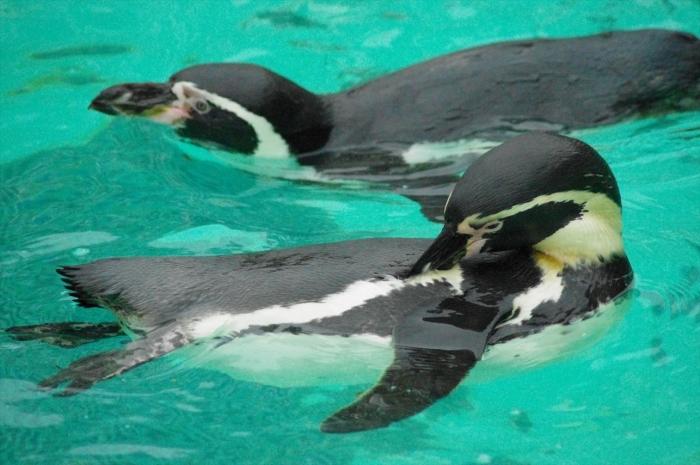 ロンドン動物園ペンギン (4)