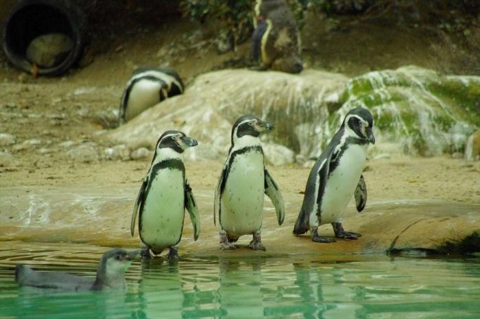 ロンドン動物園ペンギン (8)