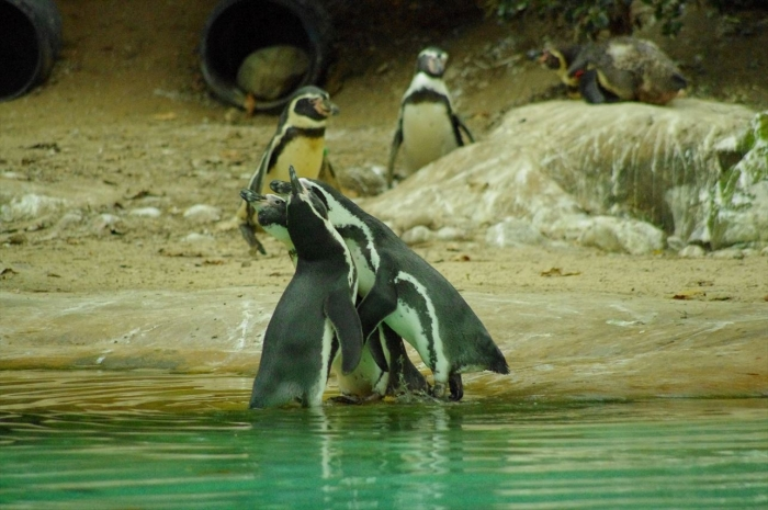 ロンドン動物園ペンギン (12)