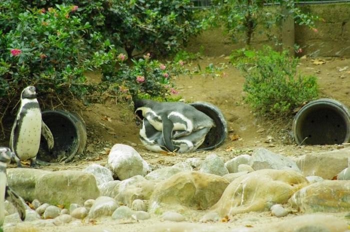 ロンドン動物園ペンギン (17)