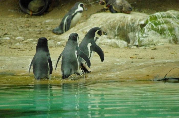 ロンドン動物園ペンギン (13)