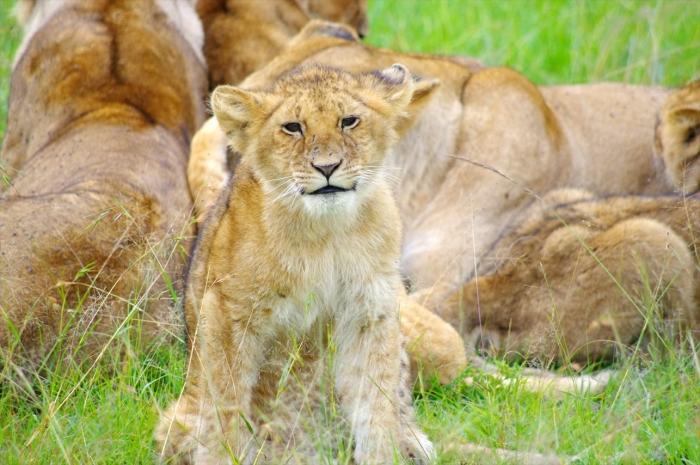 こどもライオン (30)