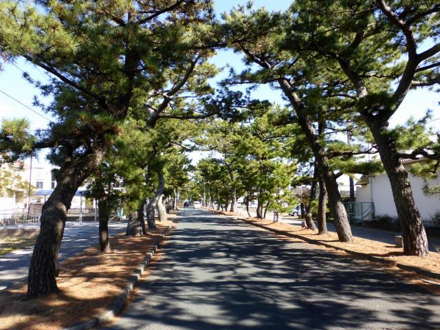 舞阪の松並木2