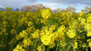 なぎさ公園冬の菜の花