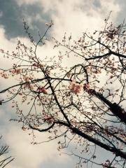 田口不動産 吹上 桜 開花 2016