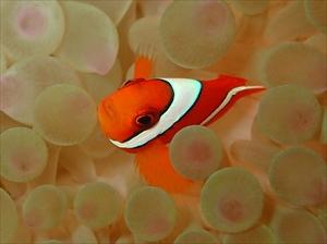 ハマクマノミ幼魚2