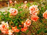271212花のウォーク (20)