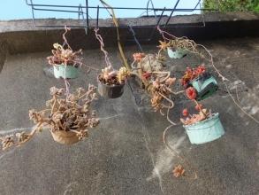 多肉オブジェ♪しょぼくれた寄せ植えをたくさん吊るしてカモフラージュ\(^o^)/2016.02.18