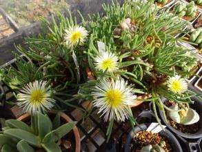 冬型塊根花メセン♪フィロボルスのお花♪2015.12.01
