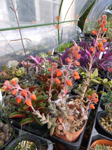 エケベリア・銀明色(Echeveria crnicolor)たくさん花芽を上げています♪2015.12.03